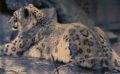A Snowleopards view