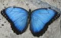 Papillon 2005