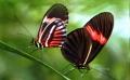 DesPapillons